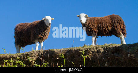 Panoramic view of two brown and white Herdwick sheep against blue sky in Lake District, England - Stock Photo