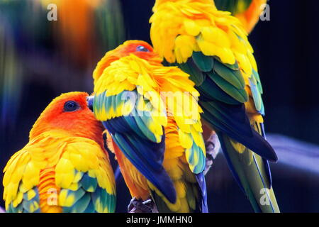 The sun parakeet or sun conure (Aratinga solstitialis) is a medium-sized brightly colored parrot native to northeastern - Stock Photo