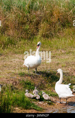 A pair of Mute Swans, Cygnus olor, with four cygnets - Stock Photo