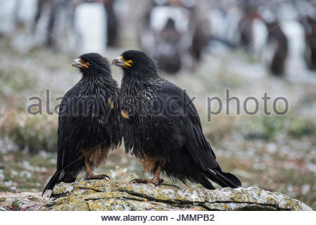 Caracaras stand on a stone looking to scavenge. - Stock Photo