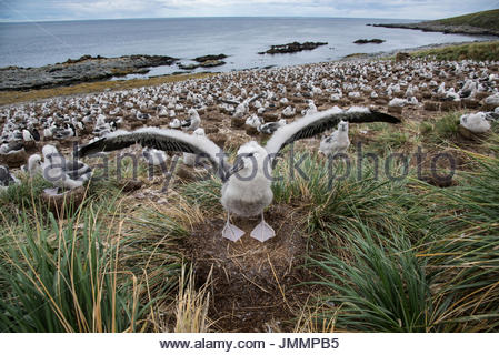 A black-browed albatross extends its wings in front of the albatross colony on the beach. - Stock Photo