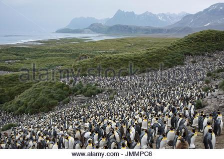 A large colony of King penguins on Salisbury Plain. - Stock Photo