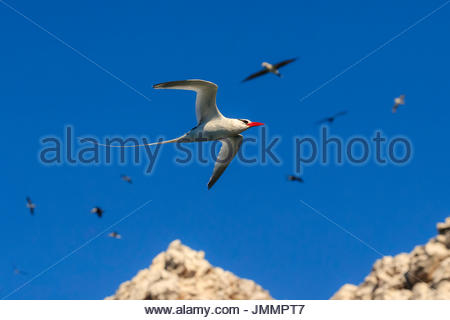 Red-billed tropic bird, Phaethon aethereus, in flight at San Pedro Martir Island. - Stock Photo