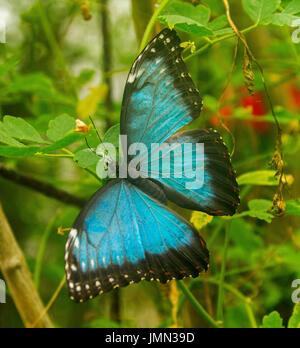 Stunning and colourful blue morpho butterfly, Morpho peleides, against background of emerald green vegetation - Stock Photo
