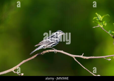 Side view on an adult Black and White Warbler - Stock Photo