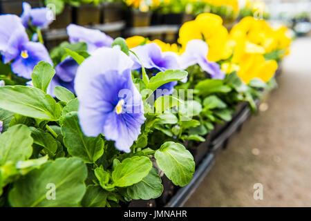 Blue Flower Pots For Sale In A Garden Centre Stock Photo
