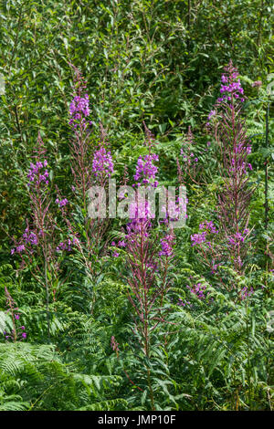 Rosebay Willowherb / Epilobium angustifolium colony beside a roadside hedge. Young leaves may be eaten cooked. - Stock Photo