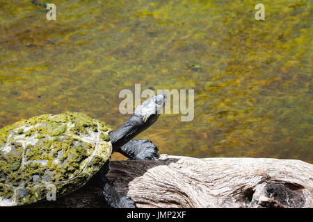 Yellow-spotted Amazon turtle  - Podocnemis unifilis - Stock Photo
