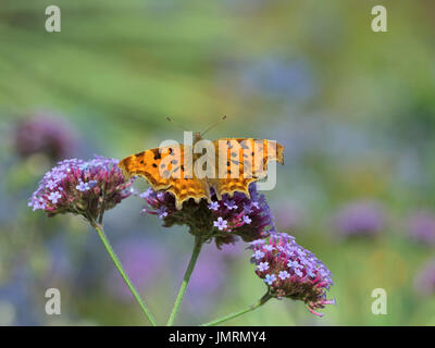 Comma Butterfly Polygonia c-album on verbena bonariensis in garden setting - Stock Photo