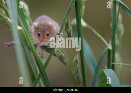 A small harvest mouse climbing up shoots of grass looking forward towards the viewer - Stock Photo