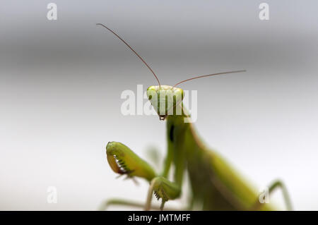 Closeup of a Praying Mantis. Shallow depth of field. - Stock Photo