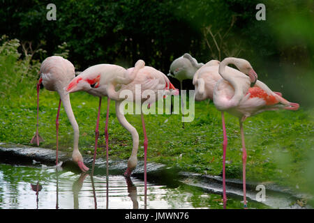 Greater flamingos (Phoenicopterus roseus) standing in peculiar poses near a pond. - Stock Photo