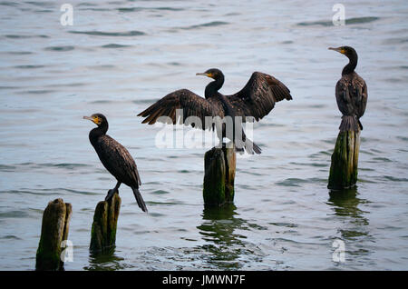 Three great cormorants (Phalacrocorax carbo) perched on wooden posts in water, one with spread wings. - Stock Photo