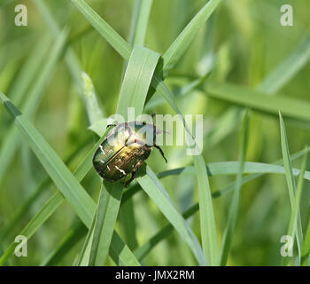 Green rose chafer (Cetonia aurata) - Stock Photo