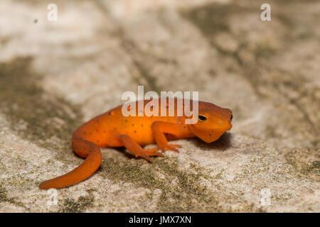 Eastern newt (red eft stage) sitting on a boulder - Notopthalmus viridescens