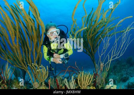 Pseudoplexaura sp., Caribbean Coralreef and Scuba diver with Gorgonia, False Plexaura, Cooper Island, British Virgin - Stock Photo
