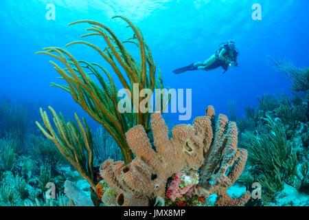 Pseudoplexaura, Callyspongia vaginalis, Caribbean Coralreef and Scuba diver with Gorgonia, False Plexaura, Cooper - Stock Photo