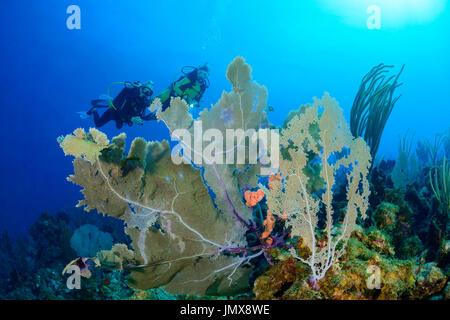 Gorgonia sp., Caribbean Coralreef and scuba diver with Gorgonia, Cooper Island, British Virgin Islands, Caribbean - Stock Photo