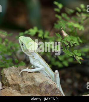 Portrait of serrated basilisk lizard standing on rock with leaves in background - Stock Photo