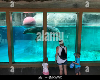 iPhone photo of Coldilocks, a 450lbs polar beer takes a plunge in the basin of the exhibit at the Philadelphia Zoo, - Stock Photo