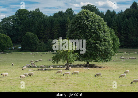Sheep in a field being shaded by trees. Yanworth, Cotswolds, Gloucestershire, England - Stock Photo