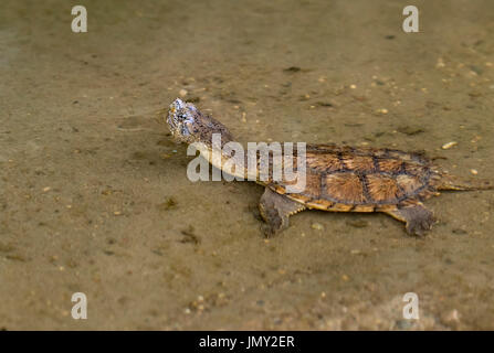Juvenile common snapping turtle Chelydra serpentina in water - Stock Photo