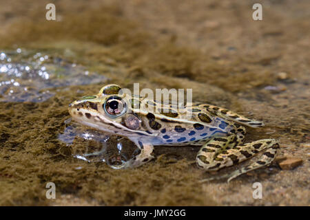 Northern Leopard Frog (Lithobates pipiens) at the water - Stock Photo