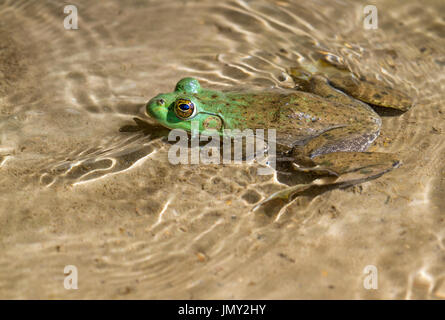 The largest of all North American frogs, American bullfrog (Lithobates catesbeianus) at Ledges State Park, Iowa, - Stock Photo