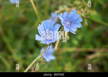 Cichorium Intybus - Stock Photo