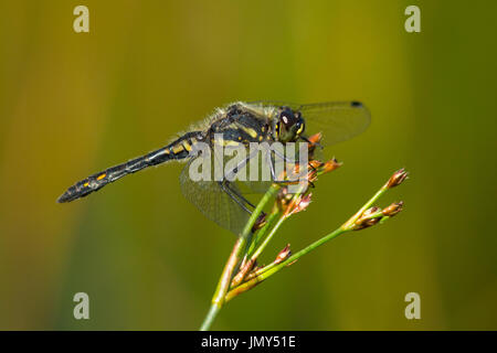 A black darter dragonfly with wings outstretched relaxes on the head of a grass stalk - Stock Photo