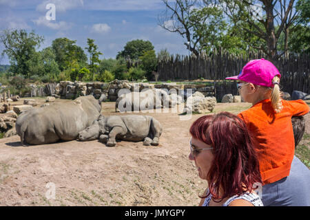 Child with parents looking at white rhinoceros family / white rhinos (Ceratotherium simum) with cut horns in enclosure - Stock Photo