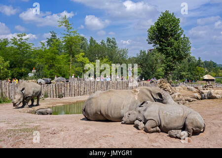 White rhinoceros family / white rhinos (Ceratotherium simum) in zoo with cut horns as precaution against theft - Stock Photo