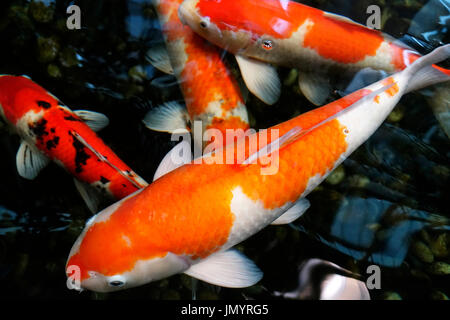 Four koi fish with orange black and white colored  patterns swimming in a japanese pond. - Stock Photo