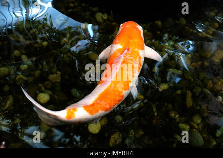 One koi fish with orange and white colored patterns swimming in a japanese pond. - Stock Photo