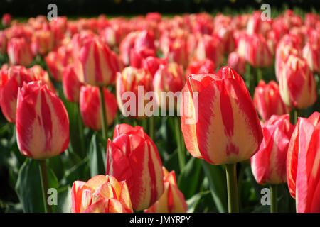 Close-up of tulips with pink yellow colorful petals and green leaves in a field blooming at springtime during the - Stock Photo
