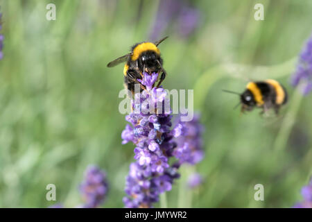 Bee's Pollinating Lavender - Stock Photo