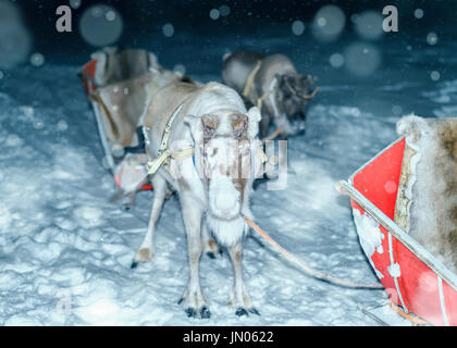 Reindeers and sledge at night safari in the forest of Rovaniemi, Lapland, Northern Finland. With snowfall. Toned - Stock Photo