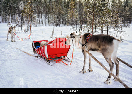 Reindeers with sleigh at winter forest in Rovaniemi, Lapland, Northern Finland - Stock Photo
