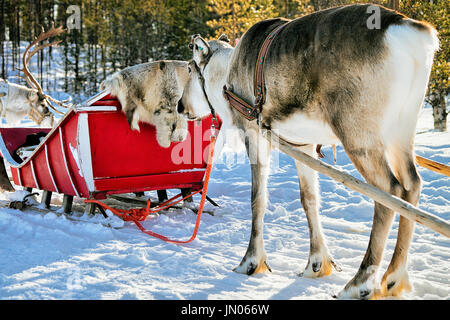 Reindeers with sleigh in winter forest in Rovaniemi, Lapland, Northern Finland - Stock Photo