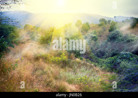 Dry, hilly bush of Deccan plateau (India). Walk on dry bed of mountain stream among flowering shrub yellow Acacias - Stock Photo