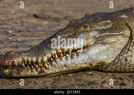 Huge saltwater crocodile called Tito on coiba island national nature park in Panama - Stock Photo