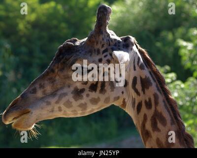 Young giraffe close up - Stock Photo