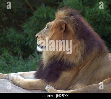 Majestic male lion relaxing on rock, looking out. - Stock Photo