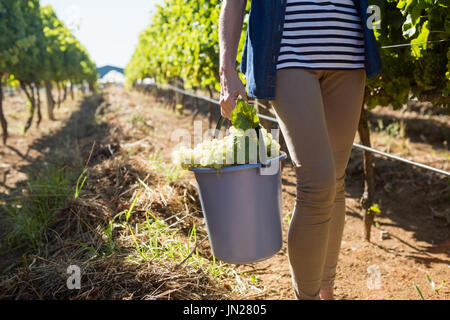Low section of female vintner holding harvested grapes in bucket at vineyard - Stock Photo