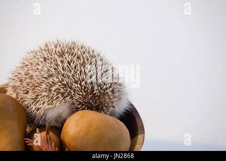 Pears fruit and porcupine in bowl against white background - Stock Photo