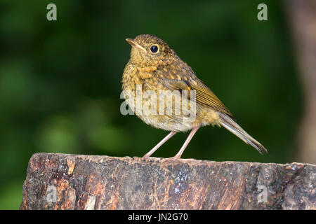 Juvenile robin (Erithacus rubecula) perched on a tree stump, Dorset, UK - Stock Photo
