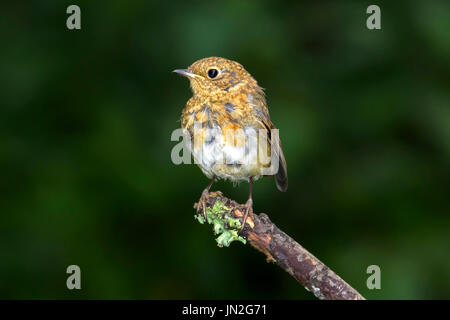 Juvenile robin (Erithacus rubecula) perched on a twig, Dorset, UK - Stock Photo