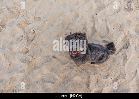 Black dog with beach sand in background. - Stock Photo
