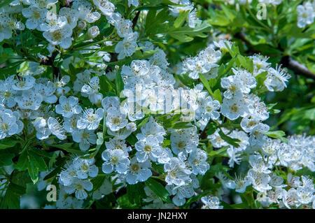 Flowers and foliage of common hawthorn (Crataegus monogyna). Flower growing wild hawthorn in the wild. - Stock Photo