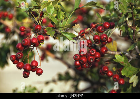 Red wild hawthorn berries on the branches. Hawthorn, Hawthorn fruit, Hawthorn berries. - Stock Photo
